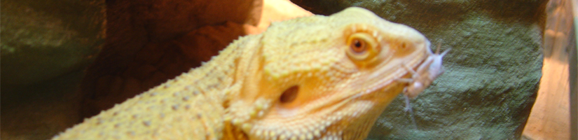 Bearded dragon: Food supplements