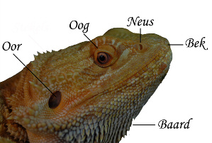 The head/beard off a bearded dragon